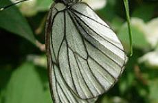 Бабочка-боярышница.