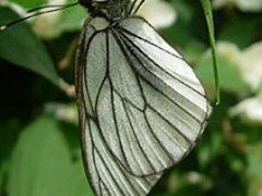 Бабочка-боярышница