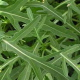Рукола – растение из семейства крестоцветных.