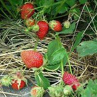 Сбор клубники— как правильно собирать ягоды