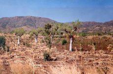Моринга-«чудо-дерево».