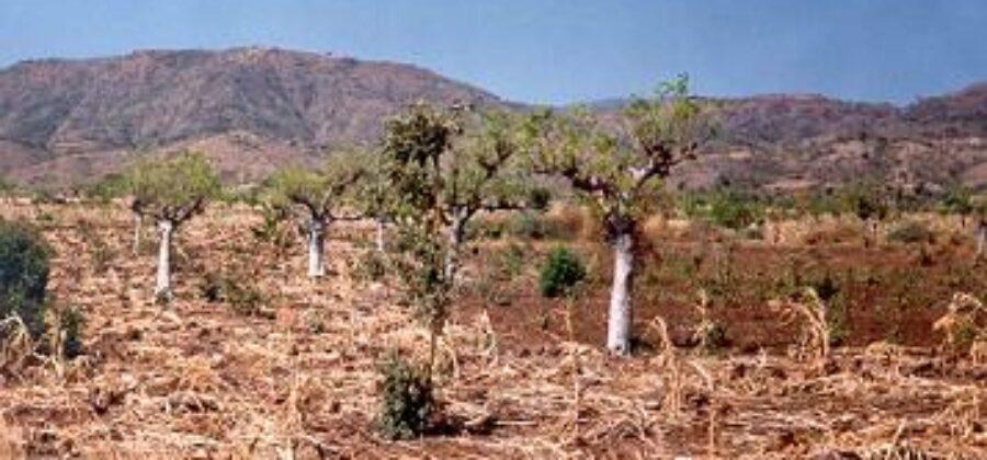 Моринга— чудо дерево