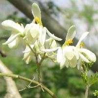 цветы моринги
