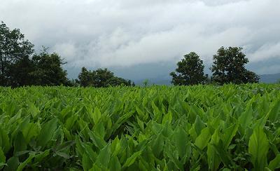 плантации куркумы