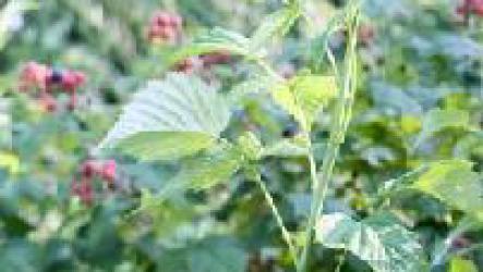 Уход за малиной весной повысит урожай и спасет от болезней.