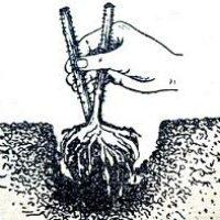 Как выращивать малину на садовом участке