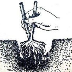 Как выращивать малину на садовом участке.