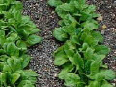 Выращивание шпината на садовом участке