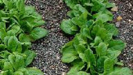 Выращивание шпината на садовом участке.