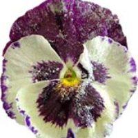 Засахаренные цветы— изысканное украшение для десерта