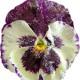 Засахаренные цветы — изысканное украшение для десерта.