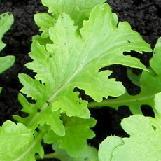 выращивание листовой горчицы