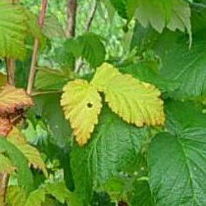 Почему у малины желтеют листья.