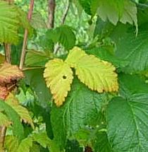 почему у малины желтеют листья
