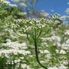 Тмин— выращивание на садовом участке