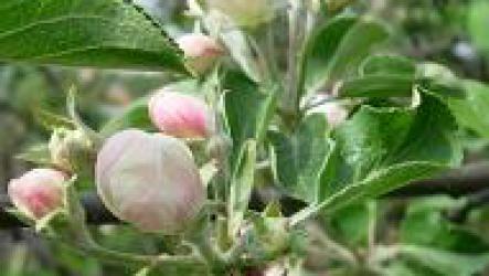 Как обрезать яблоню на плодоношение.