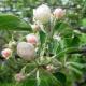 Как обрезать яблоню на плодоношение