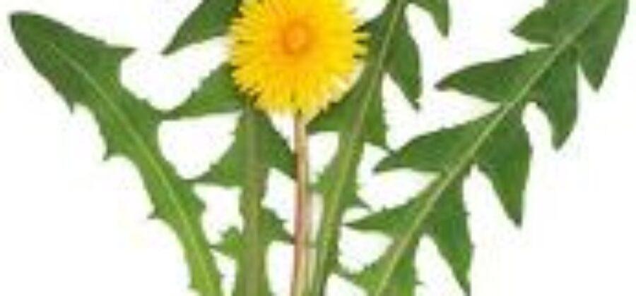Салат из одуванчиков— любимый салат Гете