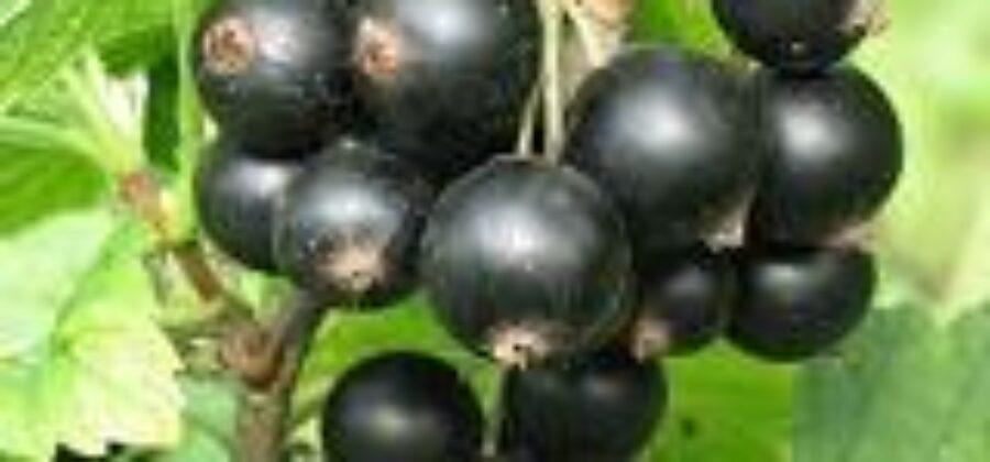 Вредители смородины и борьба с ними