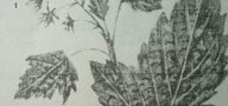 Махровость черной смородины— опасное заболевание