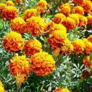 Растения против вредителей сада.