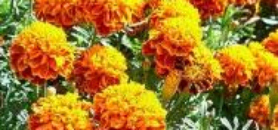 Растения против вредителей сада