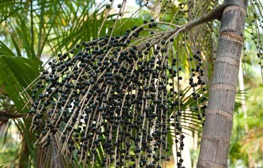 пальма асаи