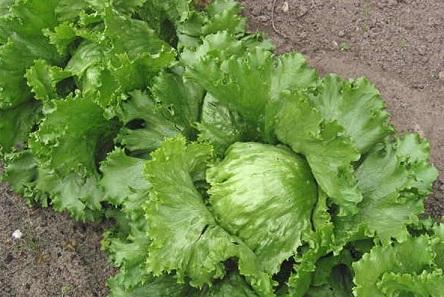 как вырастить салат айсберг