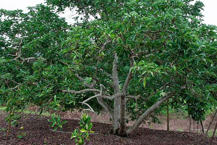 дерево авокадо